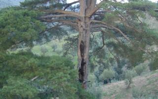 Gigante silano degli ulivi