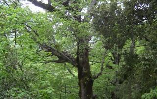 Quercia di una foresta eterna