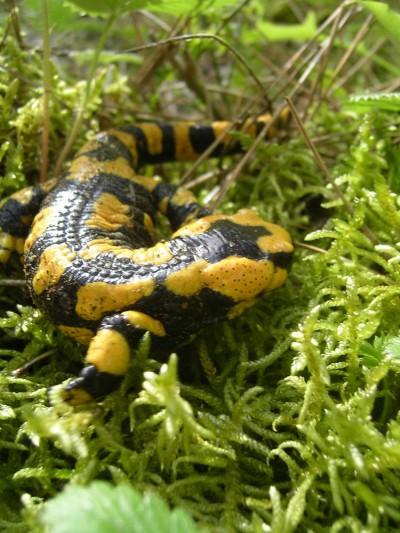 Salamandra pezzata