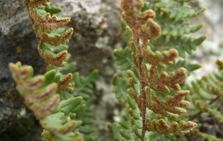 Cheilanthes marantae