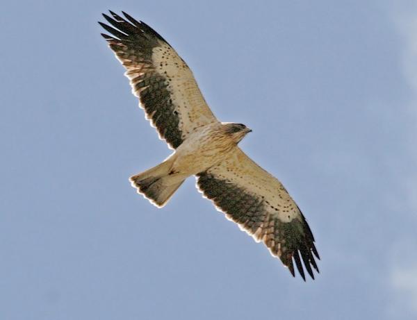 Aquila minore